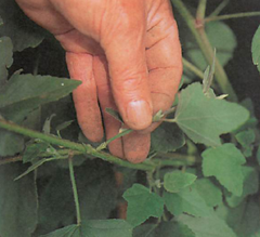 semi-ripe cuttings are taken in the summer