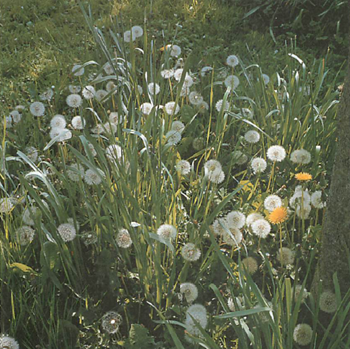 dandelion spreads rapidly by seed and also has persistent roots