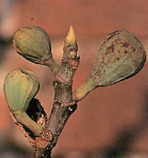 fig fruits will drop from the plant in late autumn or winter