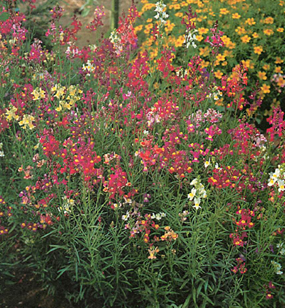 mixed bed of hardy annuals