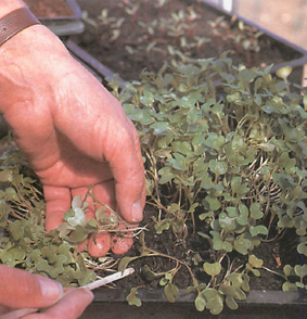 handle seedlings carefully when transplanting