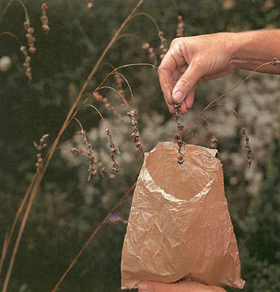 seeds should only be collected in paper bags as celophone or plastic encourages rotting