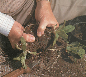 small plants are best divided and pulled apart by hand