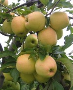 Growing Apple : Malus