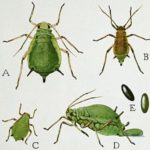 Rose Pests and Diseases
